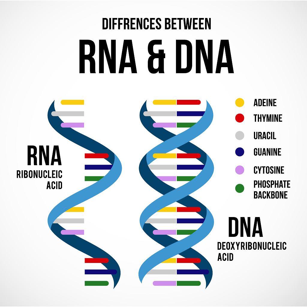 RNA, inaczej kwas rybonukleinowy