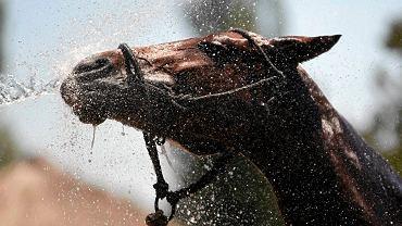 Po zajęciach spoconym koniom przydaje się prysznic