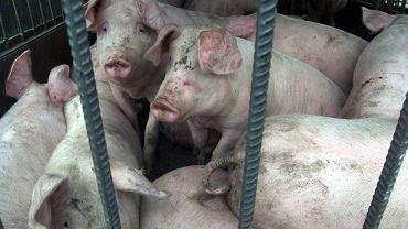 Świnie / Zdjęcie ilustracyjne