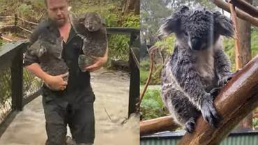 Pracownicy zoo musieli ewakuować koale.