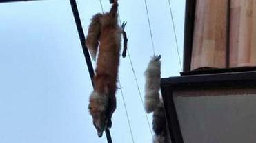 Truchło lisa wiszące na balkonie jednego z mieszkań w Jaśle