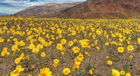 Zdjęcie numer 3 w galerii - Niezwykła anomalia: zakwitła Dolina Śmierci!