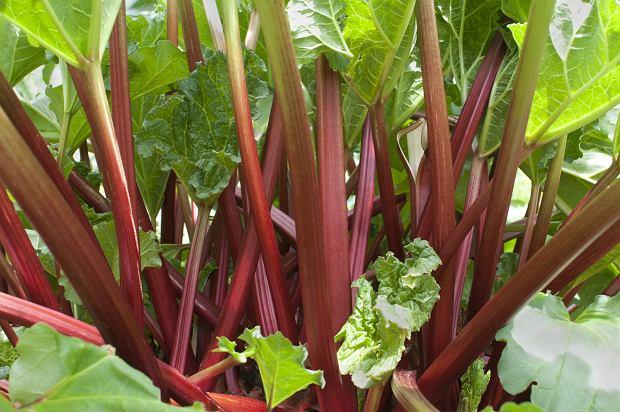 Rabarbar - owoc czy warzywo?