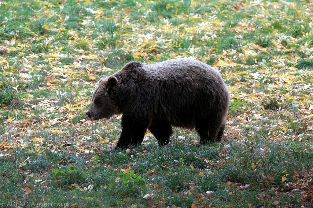 Niedźwiedź brunatny - zdjęcie ilustracyjne