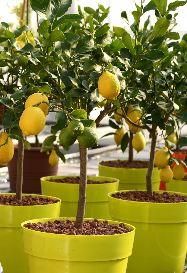 Drzewko cytrynowe w domu owocuje raz do roku. Zdjęcie ilustracyjne