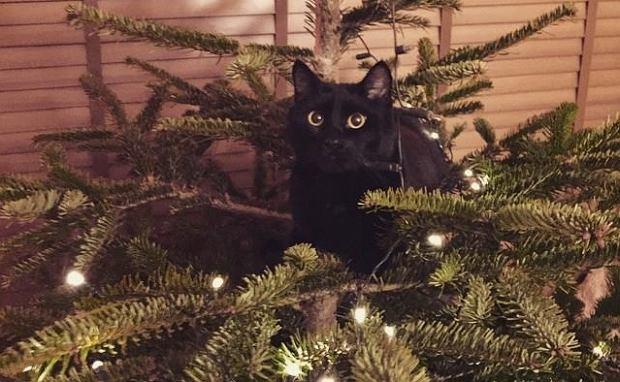 Choinka u Wiktorii. Kot już ją kocha
