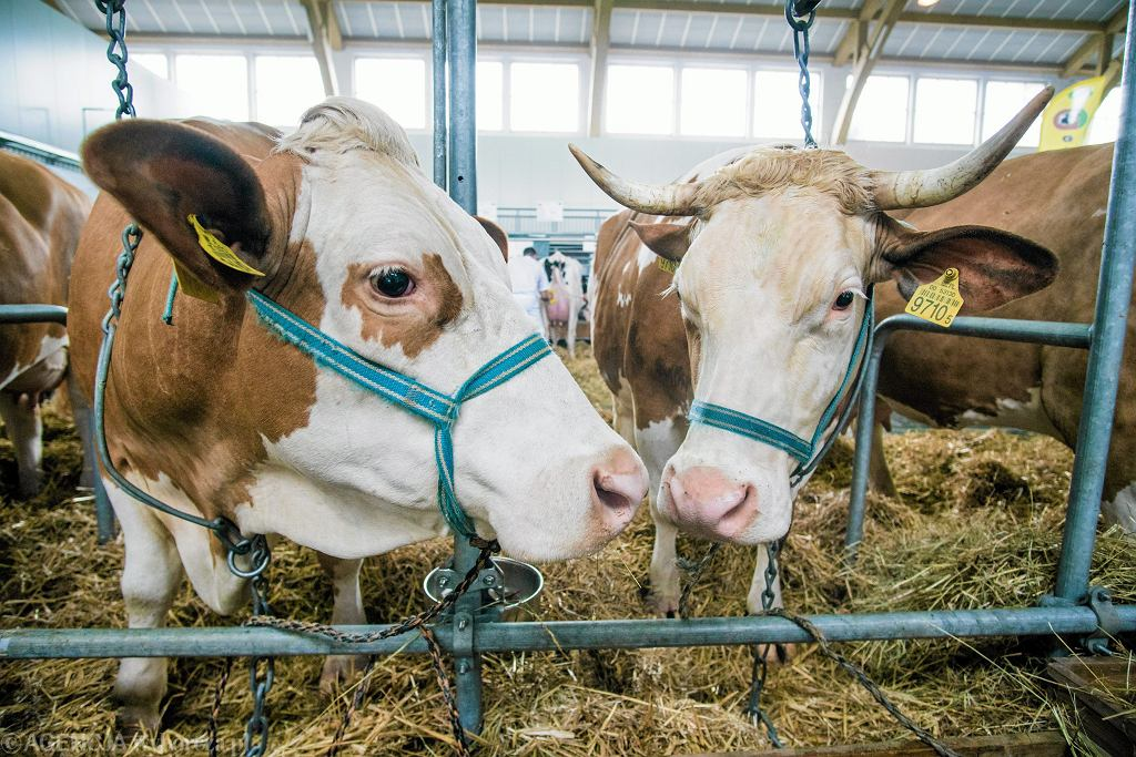 Opolskie. Wiatr zerwał linię energetyczną. Nie żyje 16 krów porażonych prądem (zdjęcie ilustracyjne)