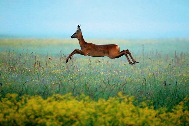 Odpoczywając wBiebrzańskim Parku Narodowym możecie spotkać dziką zwierzynę