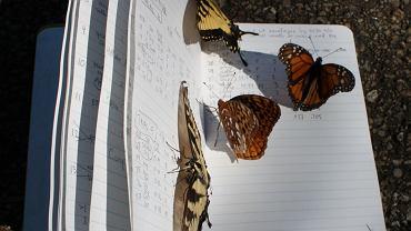 Pospolite (na razie) motyle żyjące w Ohio w USA
