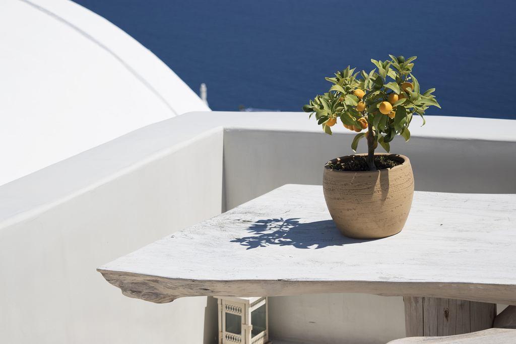 Drzewko cytrynowe w okresie letnim warto wystawić na zewnątrz. Zdjęcie ilustracyjne