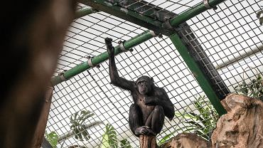 Szympans w ZOO.