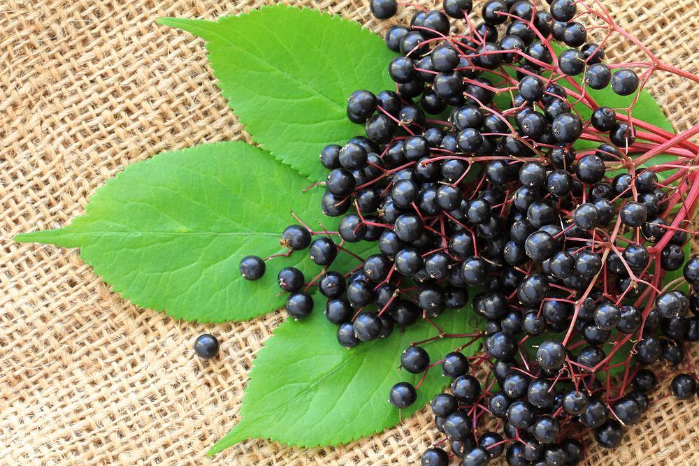 Owoce czarnego bzu mogą być stosowane do leczenia przeziębień