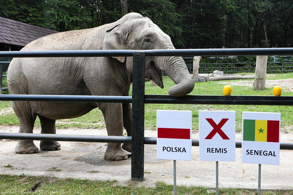 Mundial 2018. Słonica Citta nie ma wątpliwości, że mecz Polska-Senegal wygrają Biało-Czerwoni