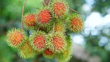 Rambutan - to niewielkie czerwonawe owoce porośnięte włoskami. Rambutan pochodzi z Azji