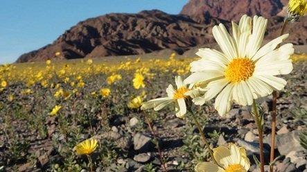 Zdjęcie numer 2 w galerii - Niezwykła anomalia: zakwitła Dolina Śmierci!