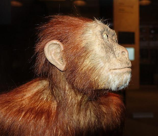 Lucy - rekonstrukcja z muzeum w Hadze