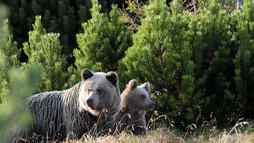 Z odchodów niedźwiedzi możemy się dowiedzieć, czy i jak bardzo się stresują