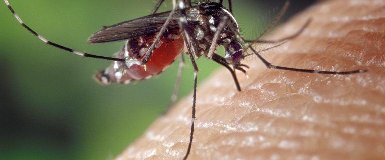 W Polsce GIS ostrzega przed komarami. Europa zmaga się z odmianą tygrysią