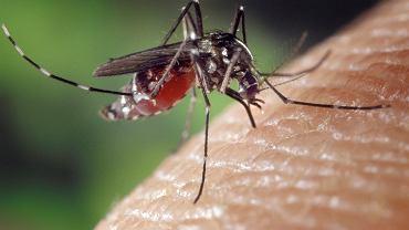 komar (zdjęcie ilustracyjne)