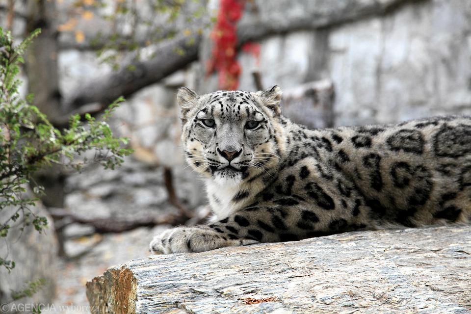 Pantera śnieżna we wrocławskim ogrodzie zoologicznym