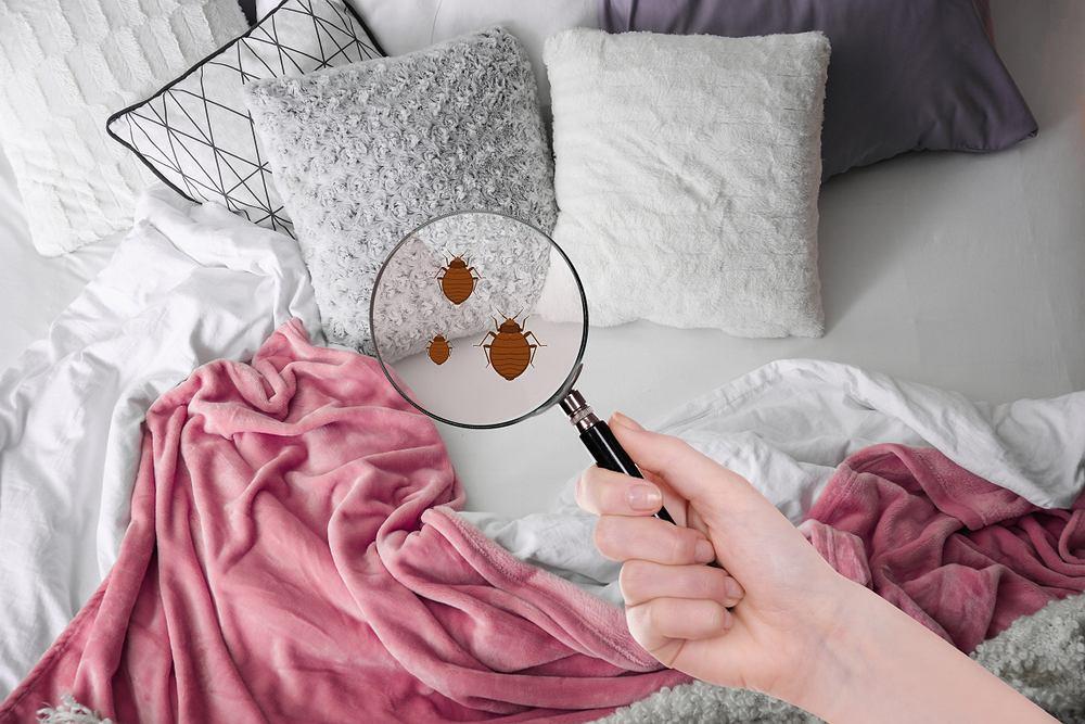 Jak wygląda pluskwa? Jak rozpoznać ślad po jej ugryzieniu? Co odstrasza pluskwy?
