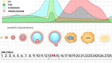 fazy cyklu owulacyjnego