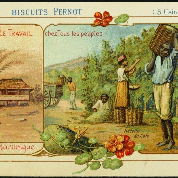 Zbiór kawy na Martynice - 1900 rok