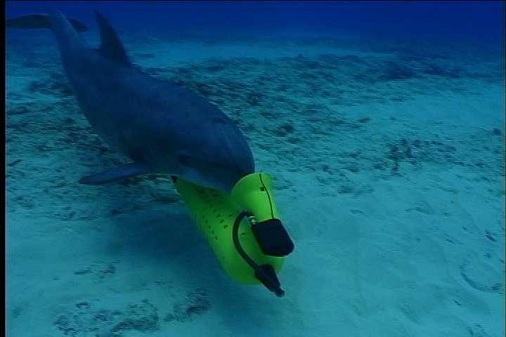 Delfin US Navy ze sprzętem służącym do oznaczania znalezionej w dnie miny