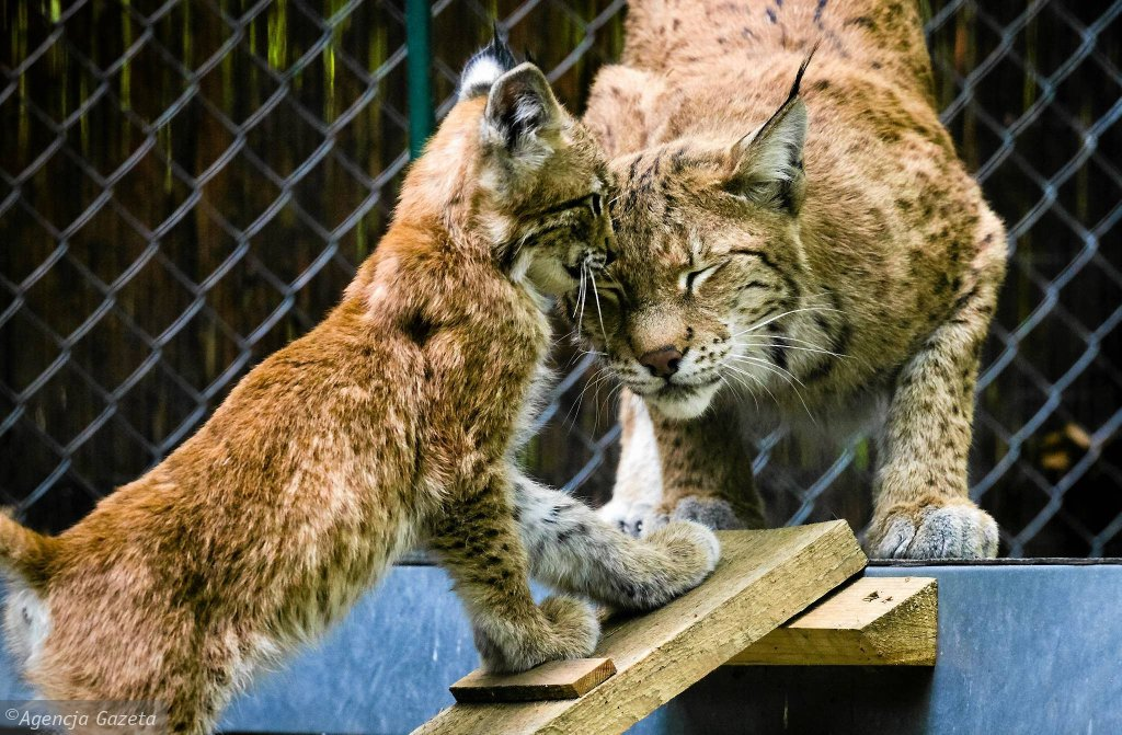 Zoo w Łodzi. Samica rysia z młodym