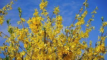 Kwitnące forsycje to jeden z symboli wiosny