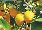 Pomarańcze, cytryny i mandarynki - czyli jak hodować cytrusy w doniczce?