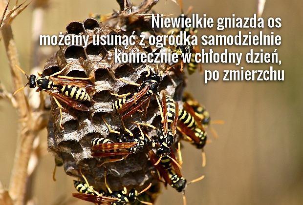 Osy, pszczoły i trzmiele atakują tylko rozdrażnione i w obronie gniazda