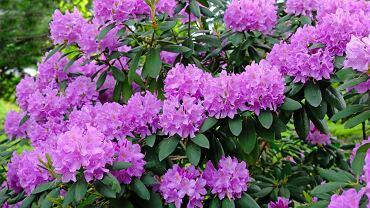 Rododendron. Zdjęcie ilustracyjne