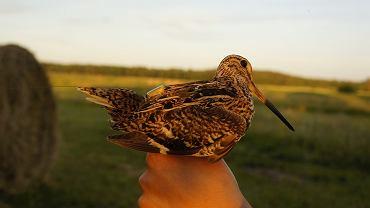 Dubelt z nadajnikiem umożliwiającym śledzenie tras lotu ptaka