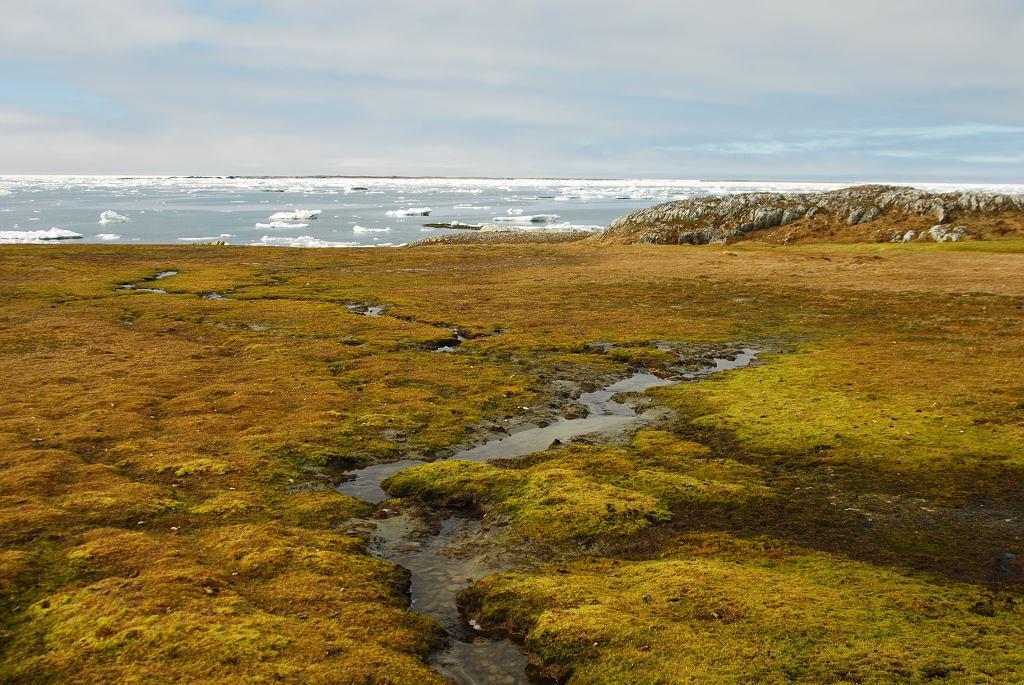 Spitsbergen latem. Mszarnik