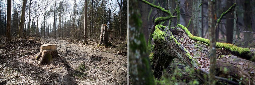 Po lewej zdjęcie ze zdewastowanej Wilczej Tryby w Białowieży. Po prawej zdjęcia z Parku Narodowego Puszczy Białowieskiej Rezerwatu Ścisłego. Kolaż pokazuje, jak w praktycy wygląda wycinka.