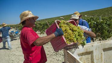 Hiszpania, okolice Jerez de la Frontera. Robotnicy podczas zbiorów winogron.