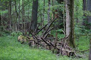 Ekolodzy kontra leśnicy. Bajka o mitycznym suchym świerku, czyli pilarz, drukarz i zły przyrodnik