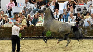 Aukcja polskich arabów w Janowie Podlaskim, 7 sierpnia 2011 r.  Na zdjęciu: wielokrotnie nagradzana klacz Piacenza ze stadniny koni w Michałowie. Hodowca z USA kupił ją wówczas za 475 tys. euro.