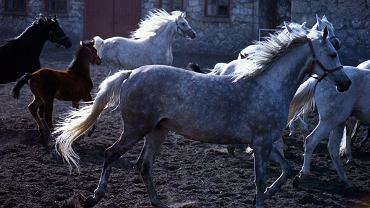 """""""Stadniny koni to nie fermy niosek, hodowla - szczególnie koni arabskich - wymaga prawdziwego kunsztu. Odwołując wieloletnich szefów najsłynniejszych stadnin czystej krwi, Agencja Nieruchomości Rolnych daje dowód, że tego nie rozumie. Nie wie, że w hodowli arabów dopiero w trzecim pokoleniu hodowców widoczne są efekty pierwotnego zamysłu"""" - piszą autorzy petycji. Na zdjęciu: Michałow, klacze na wybiegu z źrebakami."""