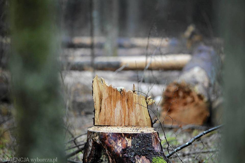 'Efekt Szyszki - Polska w trocinach