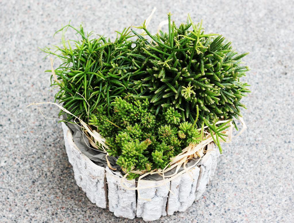 Rhipsalis - istnieje kilka odmian tej rośliny. Zdjęcie ilustracyjne
