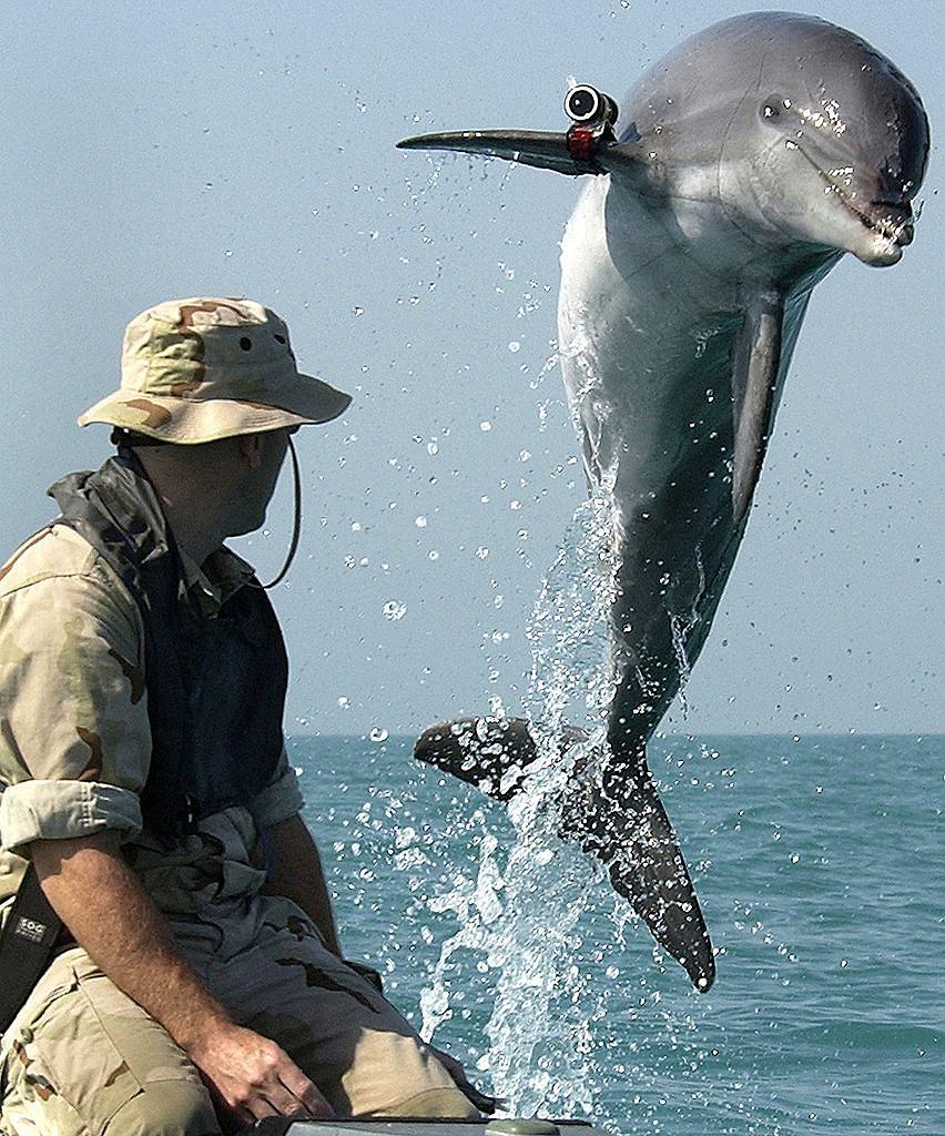 Delfin US Navy w wodach Zatoki Perskiej. Urządzenie widoczne na płetwie to lokalizator