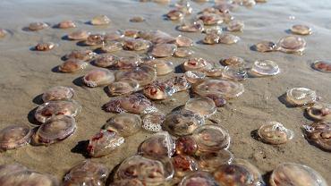 Ławice meduz w Bałtyku. 90 poparzonych osób w Niemczech (zdjęcie ilustracyjne)