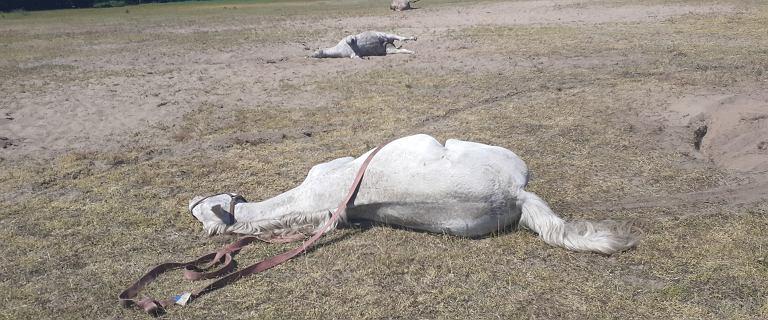 Wielkopolska. Zagadkowy zgon zwierząt. Na pastwisku padło 15 koni