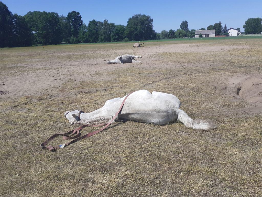 Zagadkowa śmierć koni w Wielkopolsce