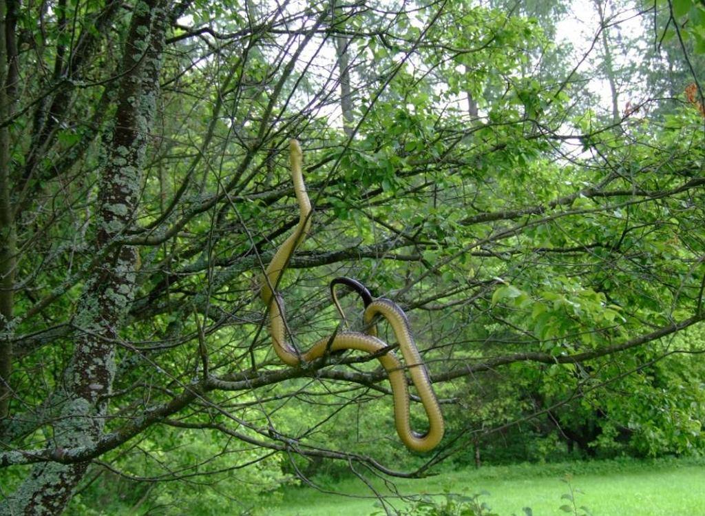 Wąż Eskulapa sfotografowany w Nadleśnictwie Krosno