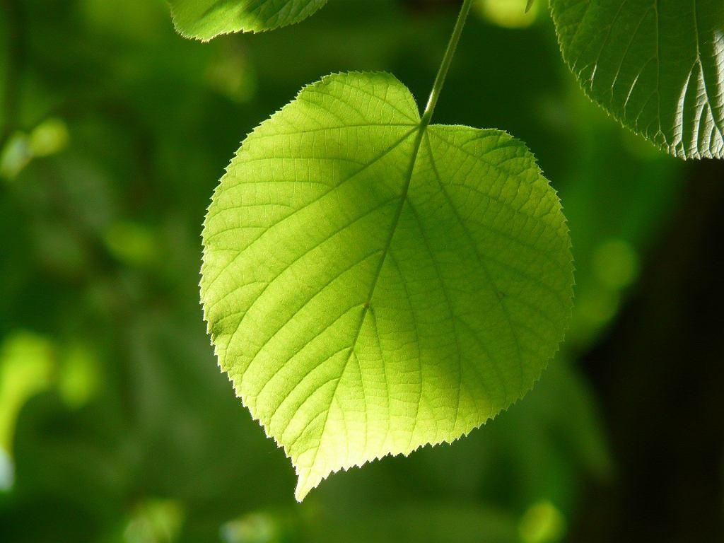 liść lipy