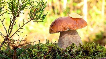 Gdzie na grzyby? Grzyby we wrześniu znajdziemy w każdym lesie. Zdjęcie ilustracyjne