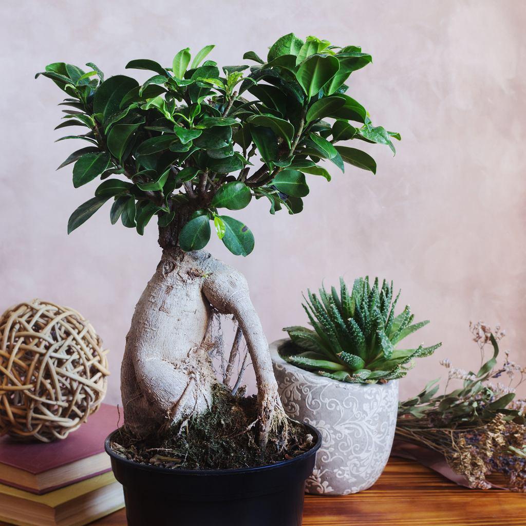 Fikus to roślina, która występuje w wielu gatunkach. Zdjęcie ilustracyjne